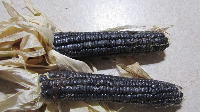 ワキシーコーン(黒)の乾燥した穂