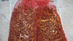 莢ごと乾燥中のダイズ