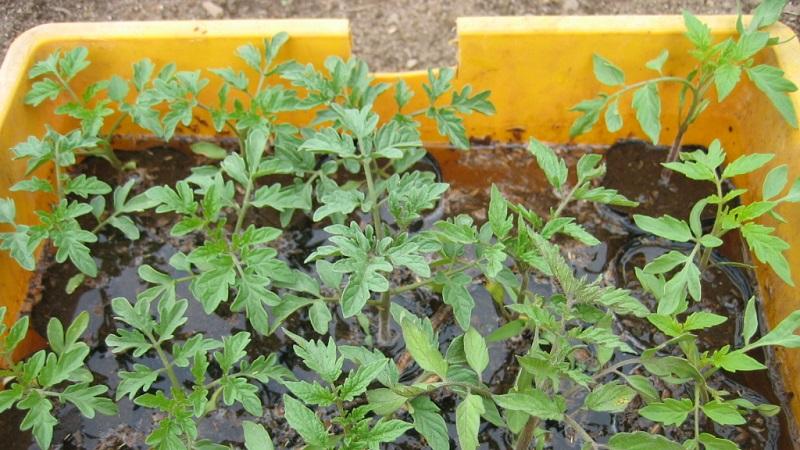 ドブ漬け中のトマトの苗